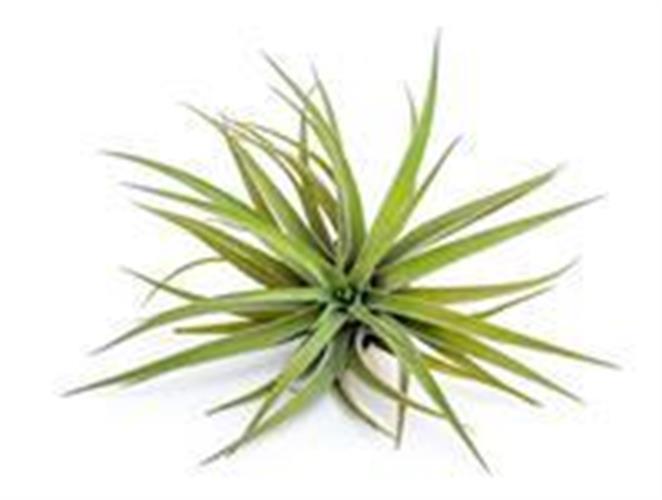 Brachycaulos multiflora