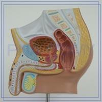 דגם אנטומי של מערכת המין והרביה הגברית