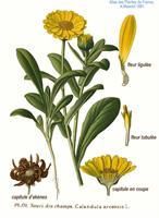 מיצוי צמח הקלנדולה - עזרה ראשונה לחיטוי ומניעת זיהומים