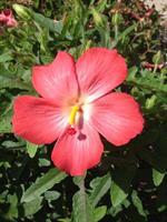 מסיכת פרח היביסקוס