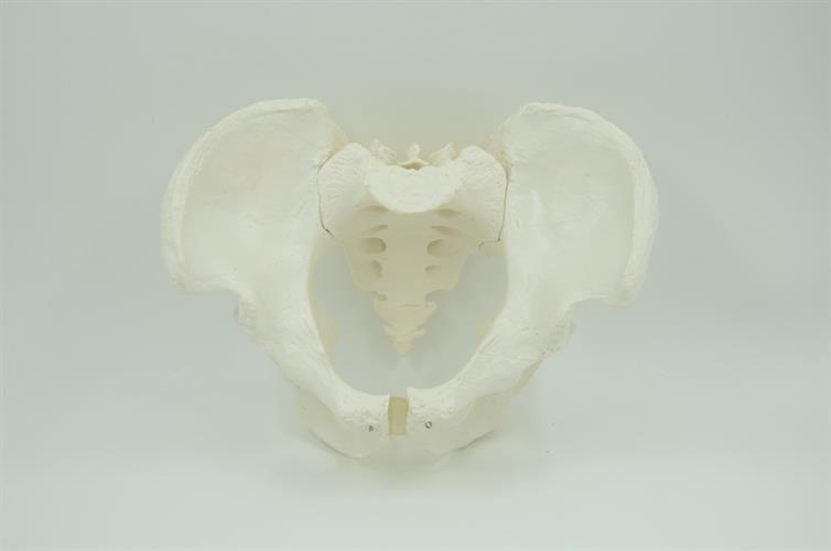 דגם אנטומי - עצמות האגן הגברי