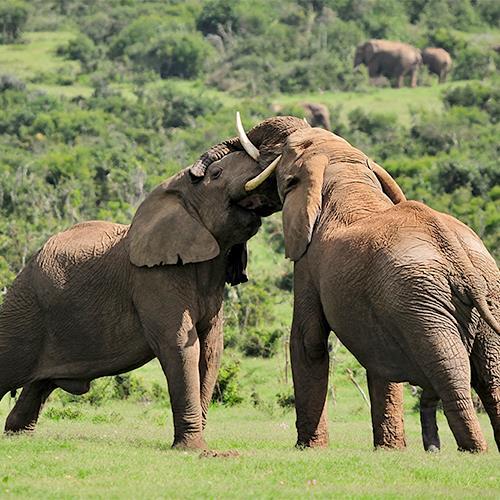 ענקי היבשה - הפילים | יום ו׳, 20.7, בשעה 10:00 | מרצה: ד״ר דני אפיק