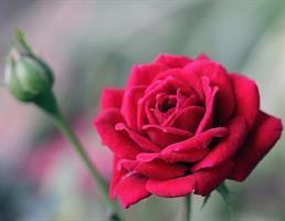 שפתון אורגני| ורדים